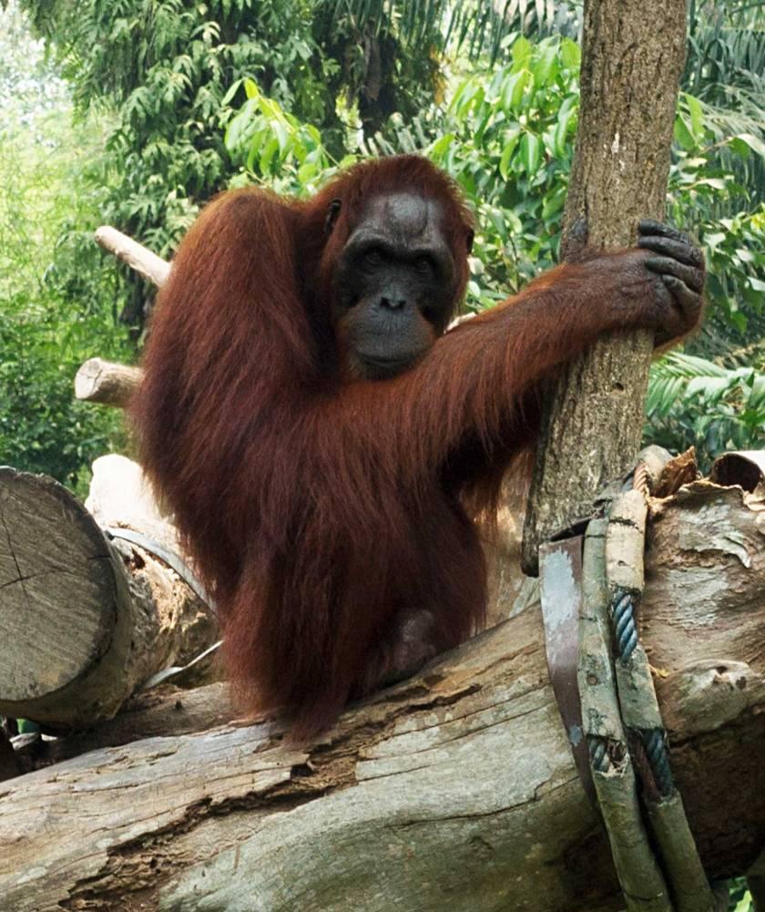 orangutan2