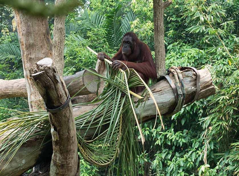 orangutang3