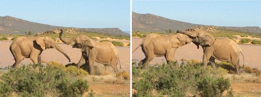 elephantsplaying_web