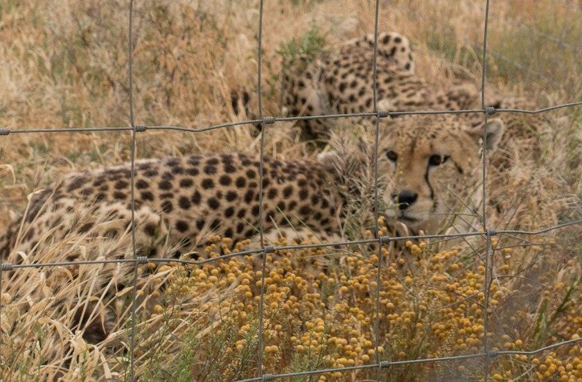 Safari-cheetah_web