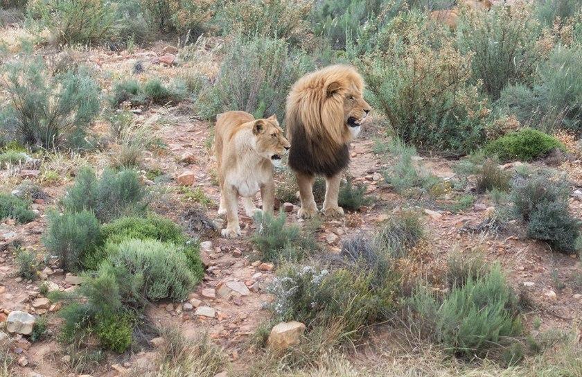Safari_lions_web