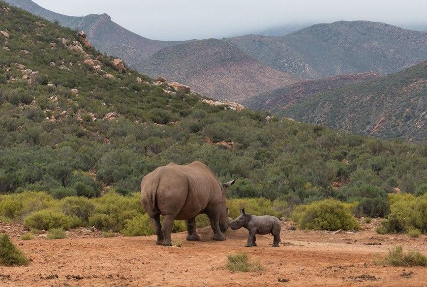 Safari_rhinobaby_web