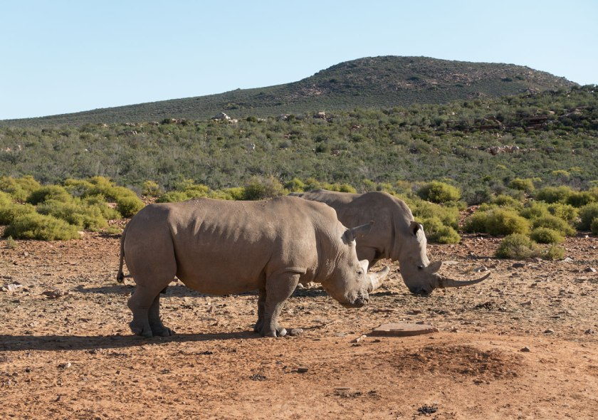 Safari_rhinos_web