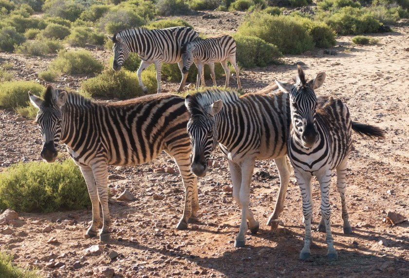 Safari_zebras_web