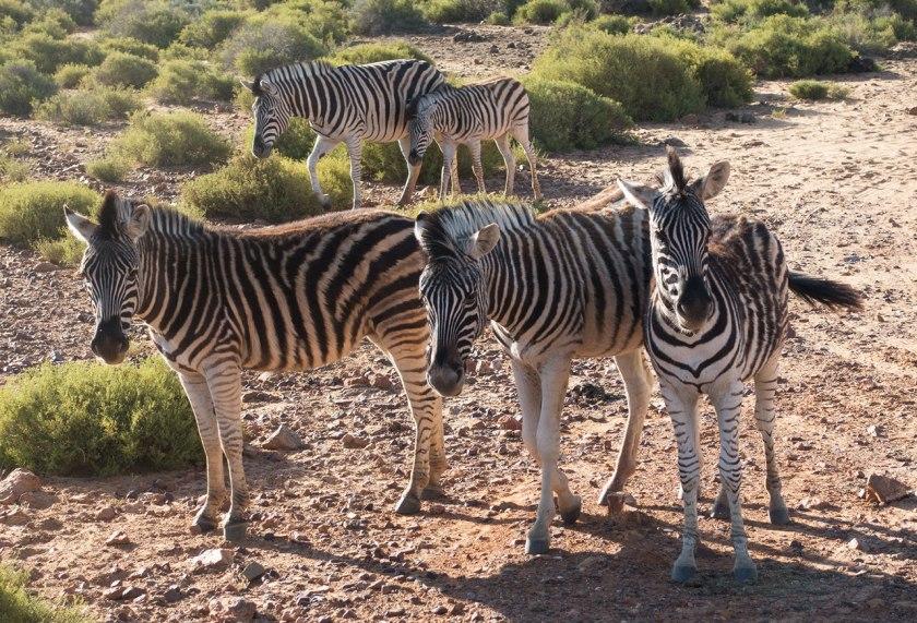 Safari_zebras_web